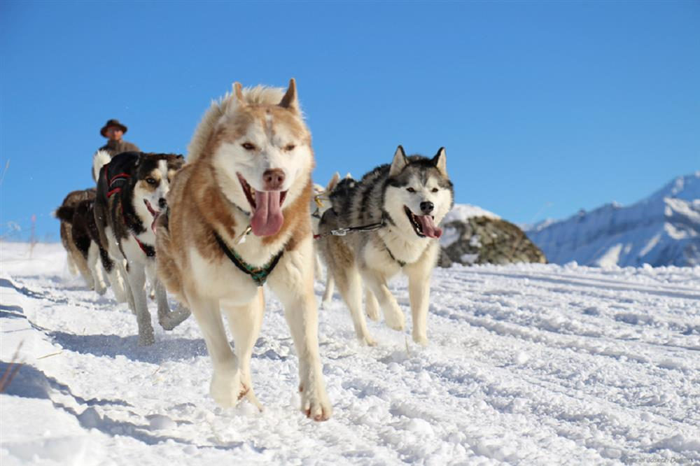 Balade en traineaux à chiens ©