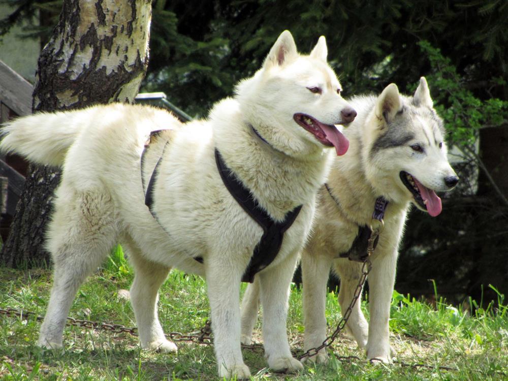Wandelen met honden © Office de Tourisme SJA