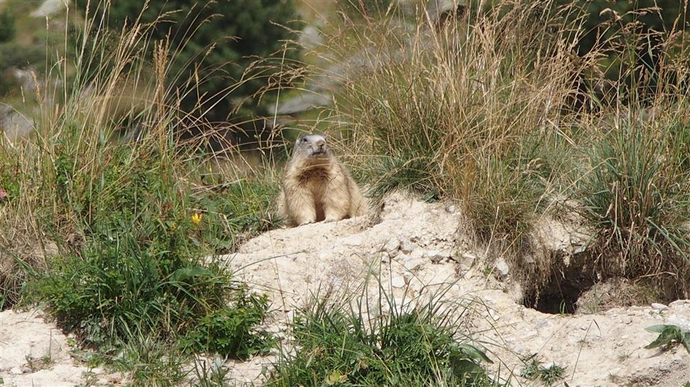 Les Marmottes à La Toussuire © @Clic Clac Photos